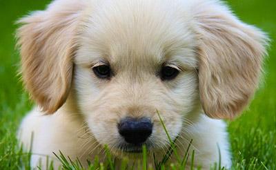 golden-retriever-sad-puppy.jpg (400×246)